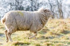 Un mouton commun des anglais dans la lumière de début de la matinée en mars 2015 image libre de droits
