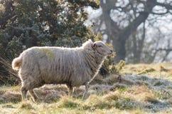 Un mouton commun des anglais dans la lumière de début de la matinée en mars 2015 photos stock
