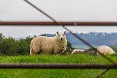 Un mouton dans la fan du stylo y photographie stock libre de droits
