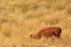 Un mouton dans le vagetation Images libres de droits