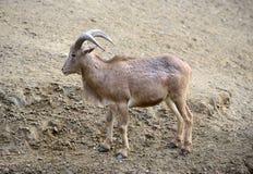 Un mouton de Barbarie (lervia d'Ammotragus) Photographie stock libre de droits