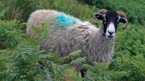 Un mouton de Swaledale photo libre de droits