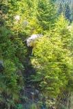 Un mouton descendant pour traverser la route entre les jeunes sapins Photos stock