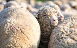 Un mouton du troupeau regardant l'appareil-photo Photographie stock