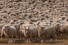 Un mouton entendu parler dans le Patagonia Images stock