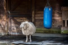 Un mouton et son sac de sable à la ferme Photographie stock libre de droits