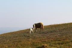Un mouton et un agneau Photo libre de droits