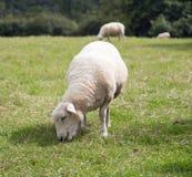 Un mouton mûr frôlant dans un domaine avec d'autres moutons Photo stock