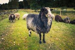 Un mouton qui regarde dans la caméra photos libres de droits