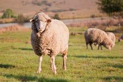 Un mouton regardant fixement tandis que le troupeau alimente Photo stock