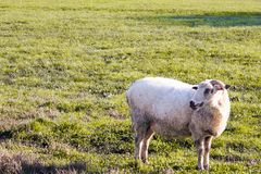 Un mouton simple sur l'herbe image libre de droits