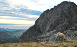 Un mouton sur la haute Photos stock