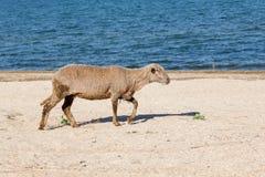 Un mouton sur la plage Image stock