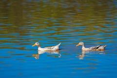 Un movimento di due anatre su acqua Immagini Stock