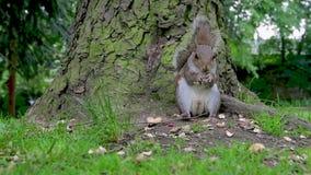 un movimento lento eccellente Grey Squirrel di 120 fps che mangia le nocciole ad un parco sotto un albero archivi video
