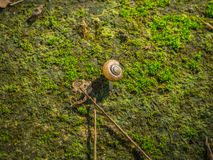 Un movimento strisciante della lumaca su muschio ha coperto il pavimento Fotografie Stock Libere da Diritti