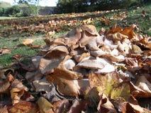 Un mucchio dei funghi piani bassi crescenti selvaggi si espande rapidamente in foglie di autunno Immagini Stock Libere da Diritti