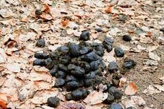 Un mucchio del concime fresco del cavallo fra le foglie cadute Poppa del cavallo nella foresta Fotografia Stock