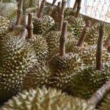 Un mucchio del durian di in-stagione immagini stock libere da diritti