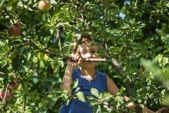 Un muchacho en un árbol escoge manzanas imagenes de archivo