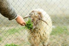 Un muchacho joven está alimentando una oveja a través de una cerca atada con alambre Él da a ovejas la comida verde con su mano imagenes de archivo