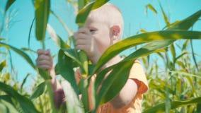 Un muchacho rubio en una camiseta anaranjada está jugando en un campo de maíz, un niño está ocultando adentro detrás de tallos de almacen de metraje de vídeo