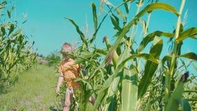 Un muchacho rubio en una camiseta anaranjada está jugando en un campo de maíz, un niño está ocultando adentro detrás de tallos de metrajes