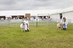 Un muchacho y una muchacha jovenes son ganadores del premio con sus corderos en el R Fotos de archivo libres de regalías