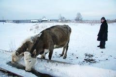 Un muchacho y una vaca Fotos de archivo libres de regalías
