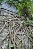 Un mur chinois antique avec des arbres et l'élevage de racines Photos stock