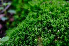 Un muschio di verde rattoppa le rocce coperte in nuovo Forrest National Park, U k Chiuda sulla vista Fotografia Stock