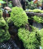 Un muschio verde fertile sul ceppo Interno della bolla e della goccia di acqua fotografia stock