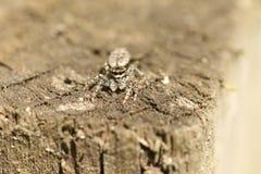 Un muscosa sautant de Marpissa d'araignée de Barrière-courrier mignon sur une chasse en bois de barrière pour des insectes Images libres de droits