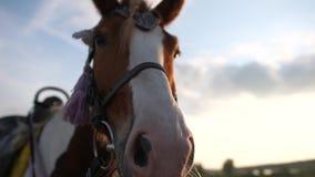 Un museau d'un cheval dans une fin de frein contre le ciel bleu dans le mouvement lent banque de vidéos