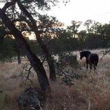 Un mustang attrapé sauvage a appelé Cowboy photographie stock