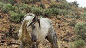 Un mustango salvaje de la bahía de la manada del caballo salvaje de Onaquai Colocándose estoico en el desierto de Nevada, Estados foto de archivo