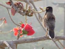 Un myna et une fleur Photo stock