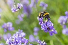 Un néctar de consumición de la abeja del manosear Imagenes de archivo