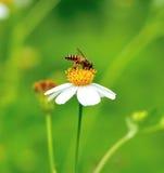 Un néctar de consumición ocupado de la abeja Imagen de archivo libre de regalías