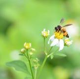 Un néctar de consumición ocupado de la abeja Foto de archivo