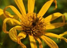 Un néctar de consumición ocupado de la abeja Fotografía de archivo