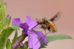 Un néctar que sorbe de la Abeja-mosca de un comandante púrpura de Bombylius de la flor Imagenes de archivo