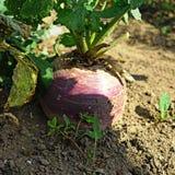 Un nabo maduro grande con los tops en el huerto cosecha Imagen de archivo libre de regalías