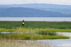 Un naer giallo della cicogna del becco la zona umida fotografia stock