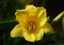 Un narciso de la trompeta amarilla Imágenes de archivo libres de regalías