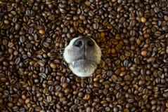 Un naso del cane sveglio che colpisce dai chicchi di caffè Fotografie Stock