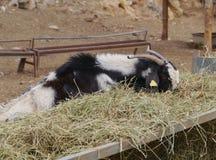 Un nativo mangiante della capra di Majorera a Fuerteventura Immagini Stock