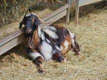 Un nativo pragnant della capra di Majorera a Fuerteventura Fotografia Stock Libera da Diritti