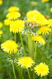 Un-natural Growth Mutant Dandelion Weed Royalty Free Stock Photography