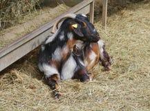 Un natural pragnant de la cabra de Majorera a Fuerteventura Imagen de archivo